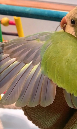 Green Pallid Wing Color