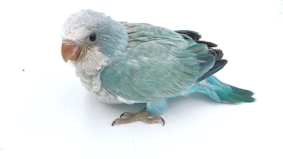 Blue Opaline  Quaker  #262