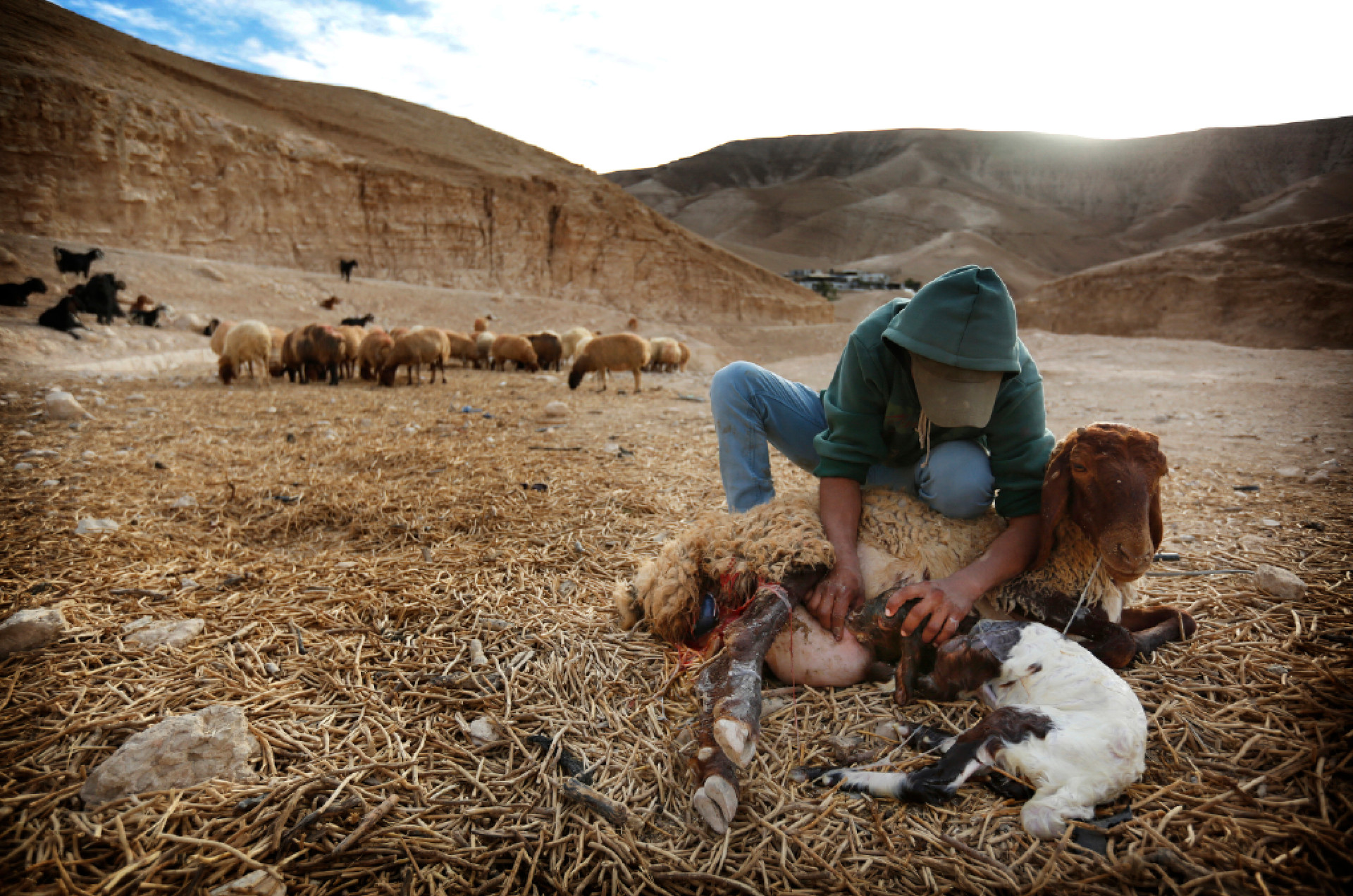 Kamal Ahmadin, 21, a Bedouin shepherd, helps deliver a baby goat. He lives in a community with nearly 80 people.