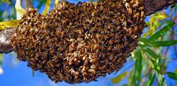 essaim-abeille-585x286.jpg