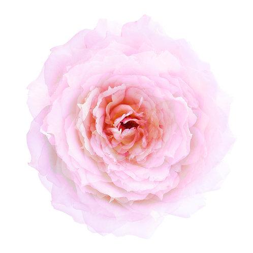 Ma rose mon amour