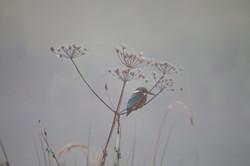 Kingfisher at Amport