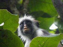 Colobus monkey in leaves web.jpg