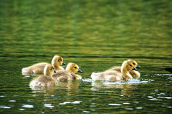 Ducklings at Amport