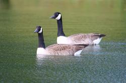 Ducks at Fishing Lake