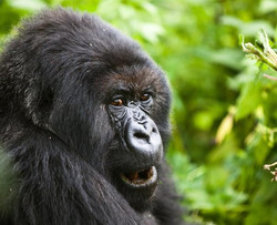 Endangered mountain gorilla