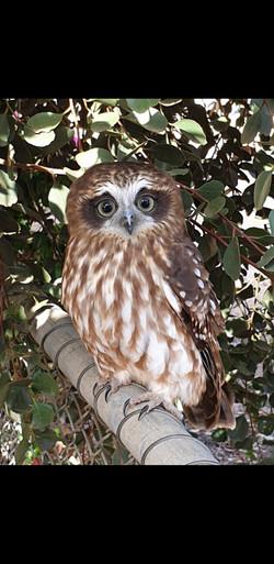 32 Joan Goad - Owl