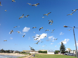 99 Lexi Conboy - Seagulls and a Magpie at Robe