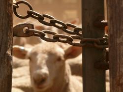 30 Nico YdelReal  - Sheep