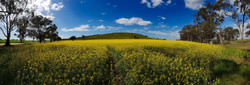 79 Kylie Heyman - Beautiful canola field