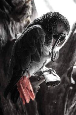 25 Jade Tinker - African Grey Parrot