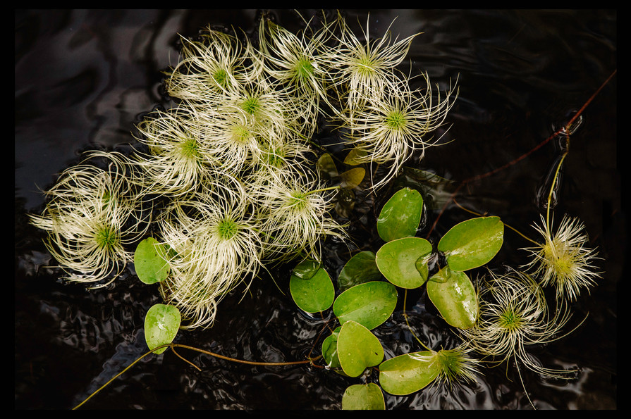 Clematis seed 2 8 x12 .jpg