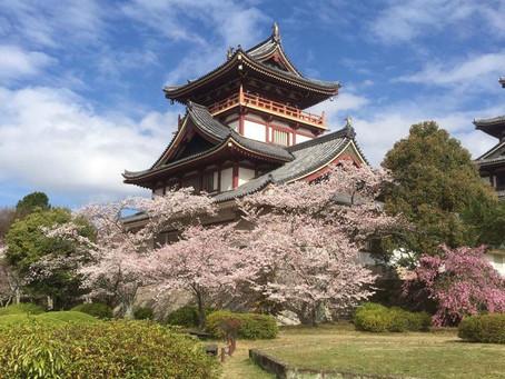 Sakura Mornings Around The Castle