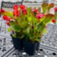 Begonias mini-flat.jpg