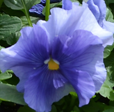 Flower - Pansy.png