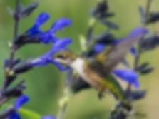 Hummingbird w Blue Salvia 2.JPG