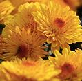 Flower - Mum.png