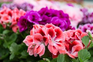 Four FABULOUS Colors of Geraniums
