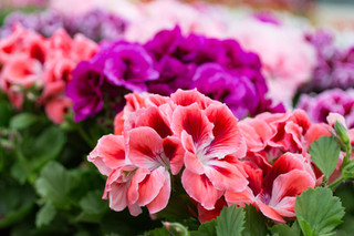 Four FABULOUS Colors of Geraniums