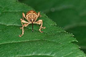 Insecte brun