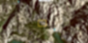 Bufo viridis1.png