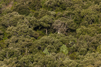 Quercus ilex (Holm Oak) Forest