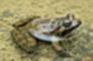 Discoglossus sardus 2, Sardijnse schijft