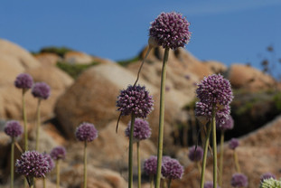 Allium commutatum (Sea Garlic)