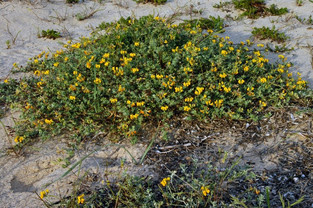 Lotus creticus (Creta Trefoil)