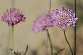 Sixalix atropurpurea (Pincushion Flower)
