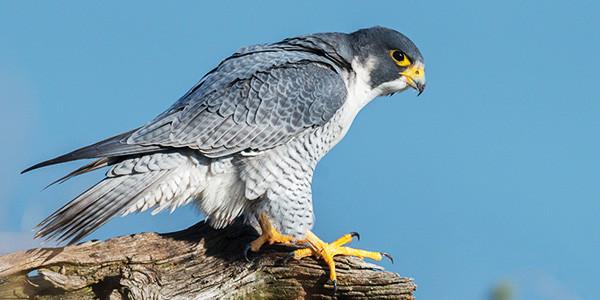 bird_peregrine-falcon_600x300.jpg