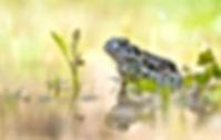 1.-Bufo-viridis-von-Stahl-Alexander.jpg