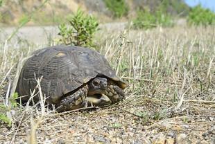 Testudo marginata (Maginated Tortoise)