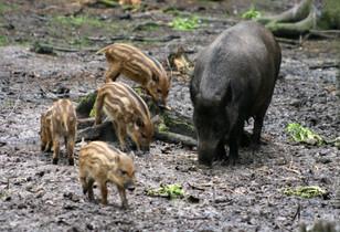 Sus scrofa (Wild Boar)