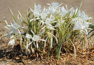 Pancratium maritimum (Sea Daffodil)