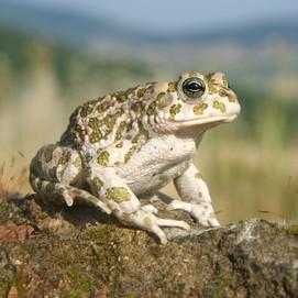 Bufo viridis (European Green Toad)