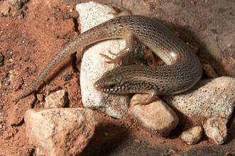 Chalcides ocellatus (Ocellated Skink)