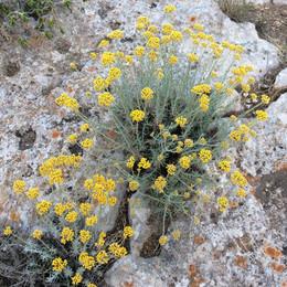 Helichrysum microphyllum ssp. tyrrhenicum (Elicriso)