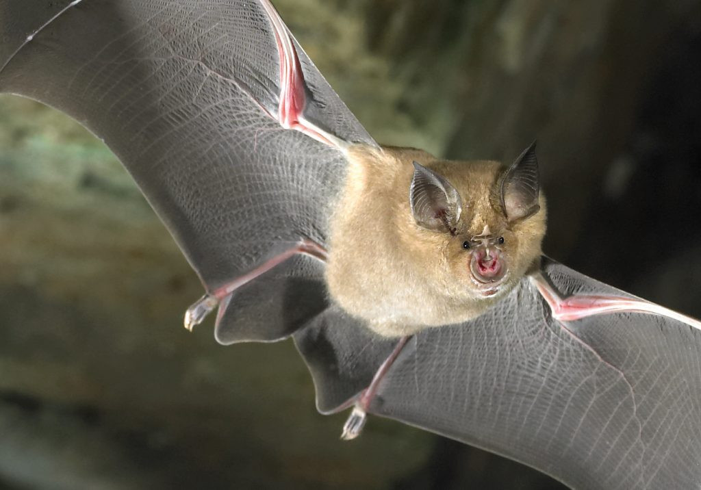 GREATER HORSESHOE BAT.jpg
