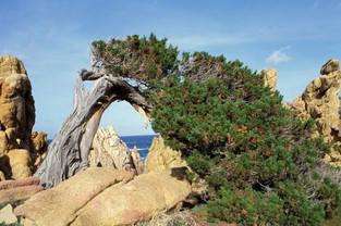 Juniperus phoenicea ssp. turbinata (Ginepro Fenicio)