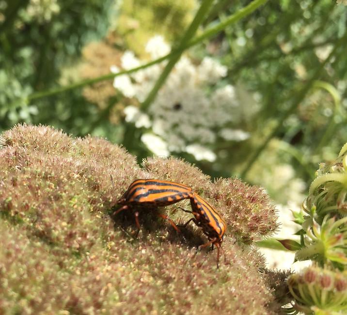 Sardinian Striped Shieldbug