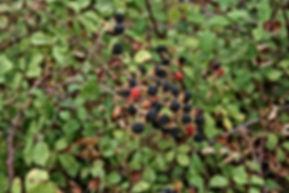 Rubus_ulmifolius-2.jpg