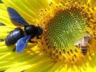 Xylocopa violacea (Violet Carpenter Bee) with Apis mellifera (Honey Bee)