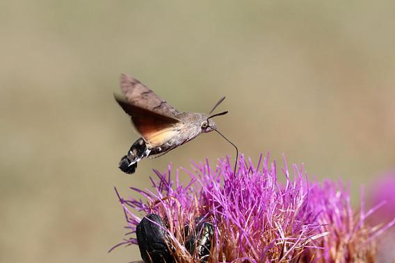 Hummingbird Hawkmoth sc 4.jpg