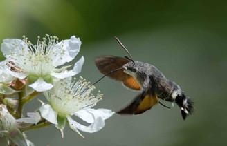 Macroglossum stellatarum (Hummingbird Hawkmoth)