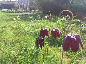 Wild area Fritillarias.JPG