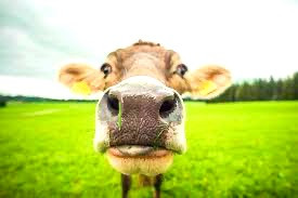 Gases de vacas suman 140 millones de toneladas de CO2