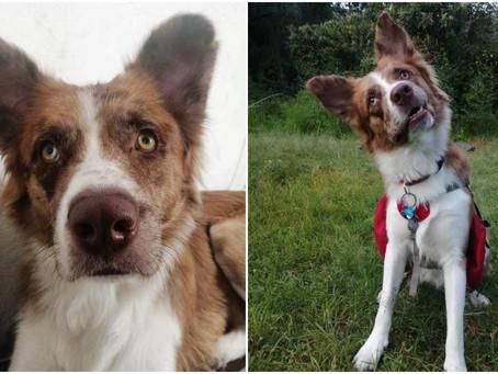¿Haz visto a Max? se perdió en Coyoacán es perro de rescate