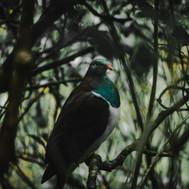 W - Ryan Clark - Kereru, Manwatu Gorge W