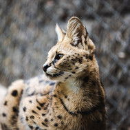 Serval - Wellington Zoo.jpg